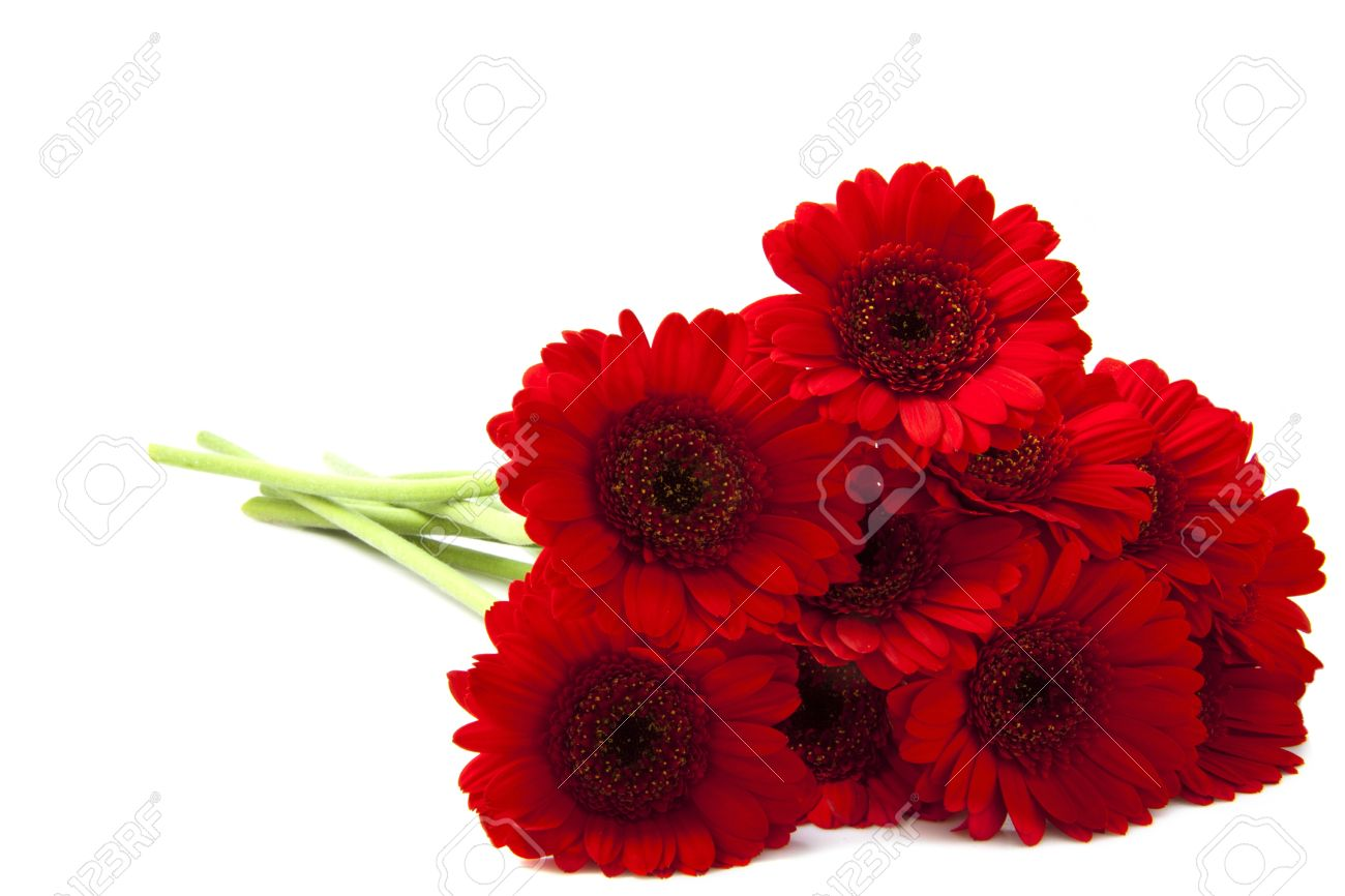 Red gerbera's isolated on a white background Stock Photo - 10841705