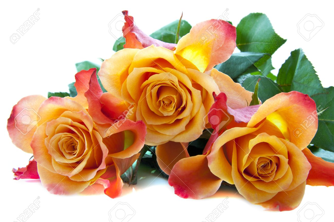 three colorful lovely roses close up for background use stock photo