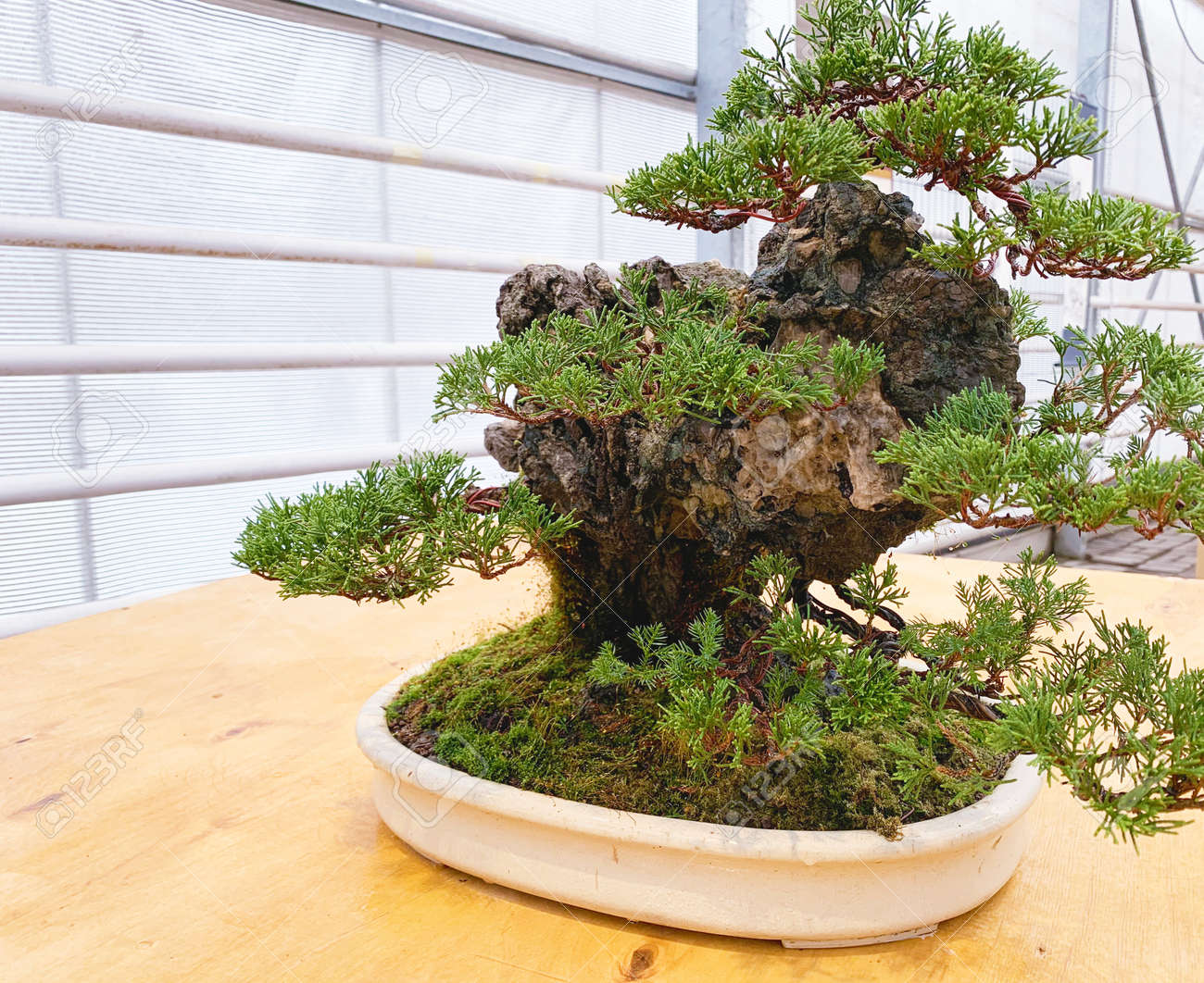 Old bonsai tree composition. Chinese juniper. - 169603065