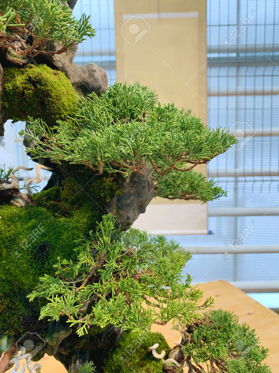 Bonsai tree composition on stone. Chinese juniper. - 169603066