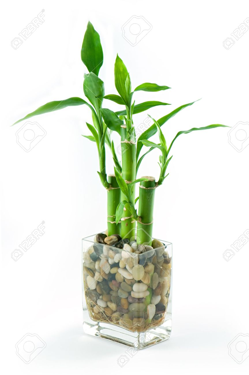 Three sticks of green lucky bambo set in stones in glass vase three sticks of green lucky bambo set in stones in glass vase stock photo 3232098 reviewsmspy