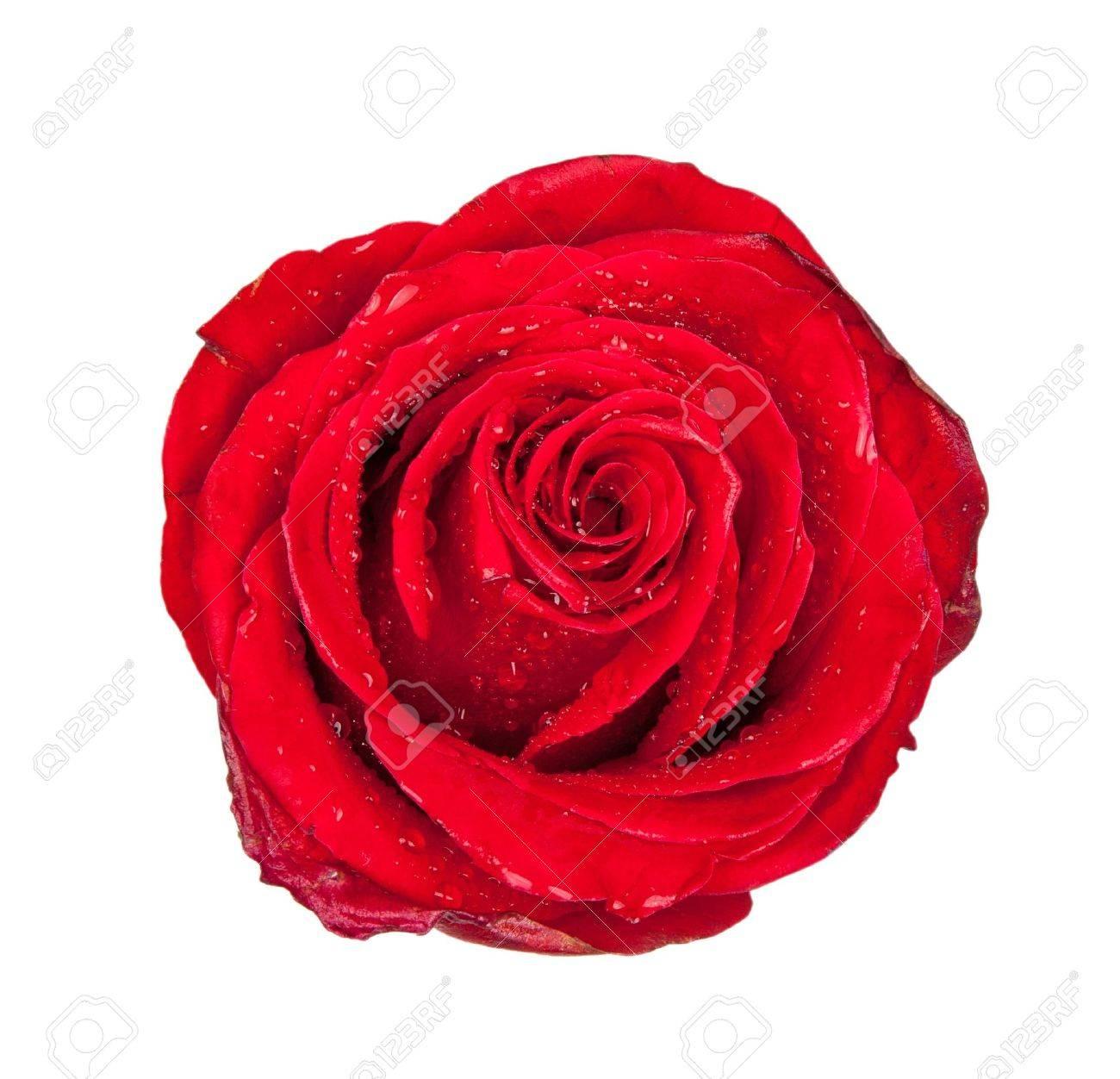 Red rose bud isolated on white background Stock Photo - 8504459