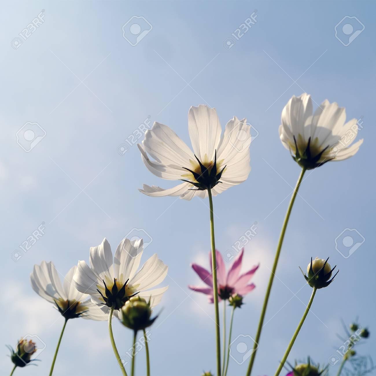 White cosmos flowers in garden stock photo picture and royalty stock photo white cosmos flowers in garden mightylinksfo