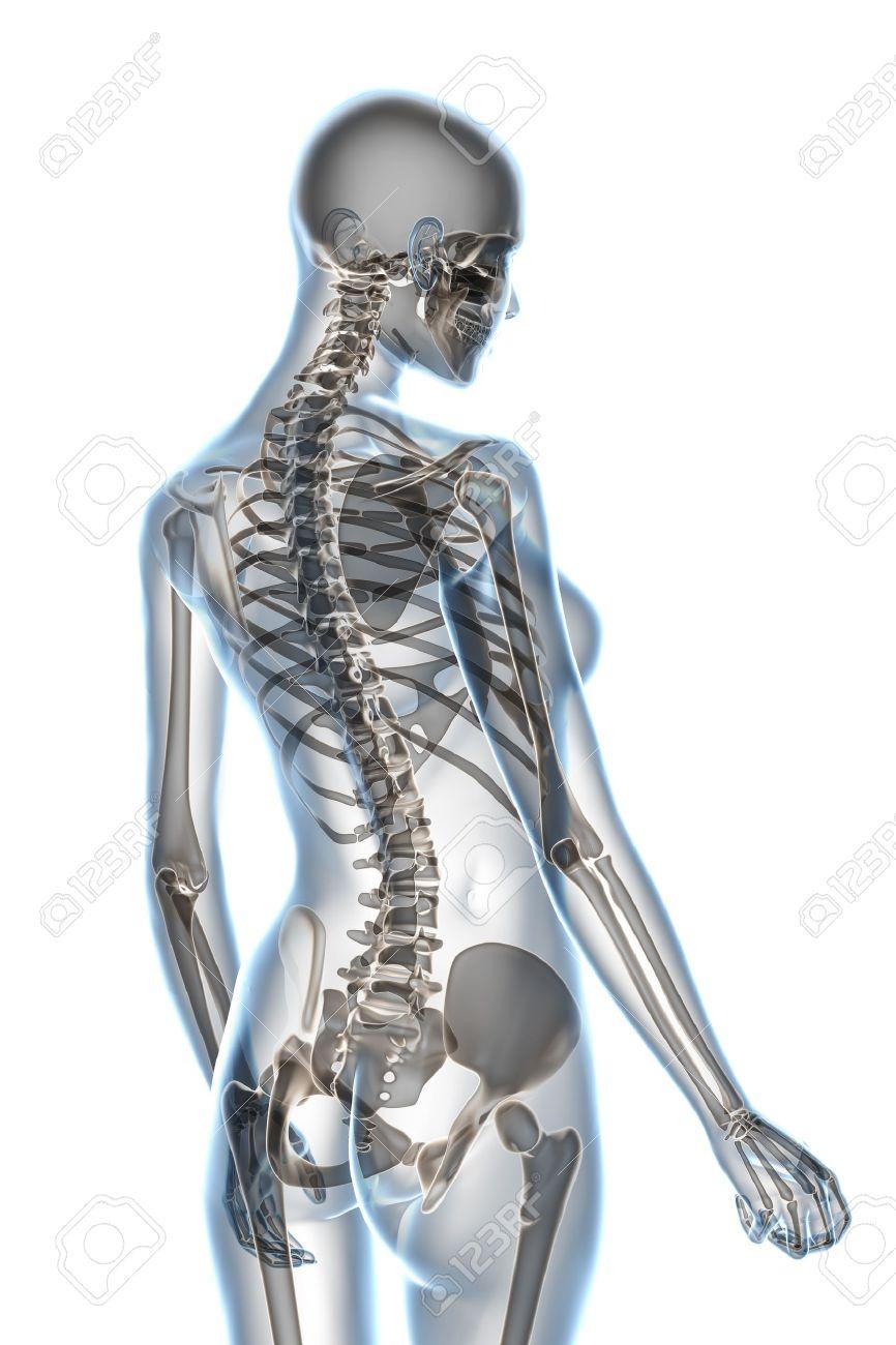 X-ray female anatomy over a white background Stock Photo - 5195847