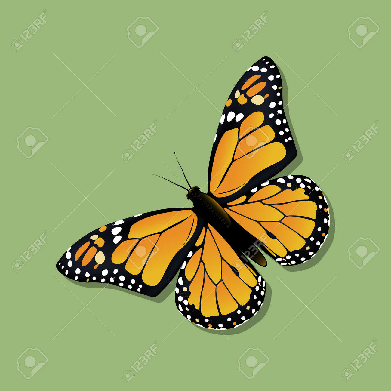The Monarch butterfly (Danaus plexippus) in the family Nymphalidae. Vector illustration. - 150078936