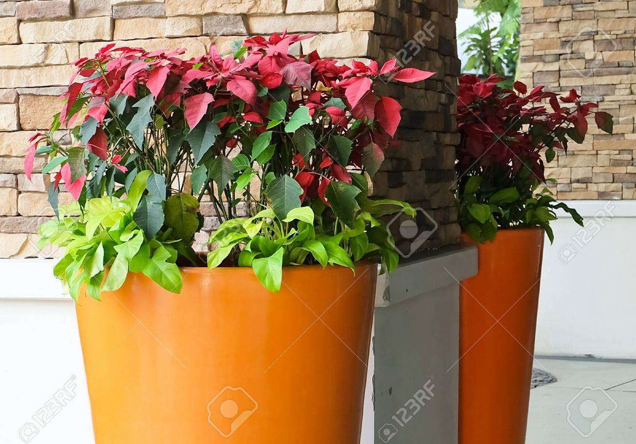 Red christmas poinsettia flowers in giant flower pots the traditional christmas flowering plants stock
