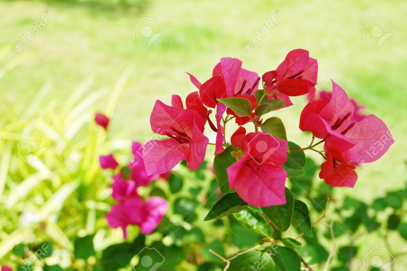 Fresh Pink Bougainvillea Flowers Or Paper Flowers Blooming On