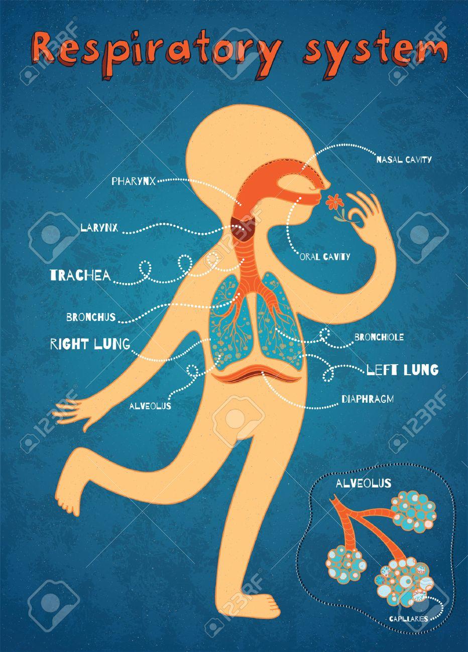 Menschliches Atmungssystem Für Kinder. Vector Farbe Cartoon ...