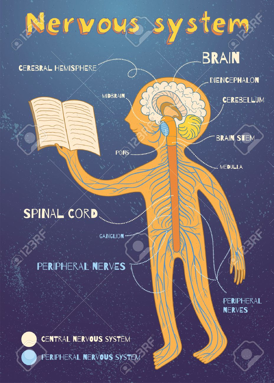 Human Nervous System For Kids. Vector Color Cartoon Illustration ...