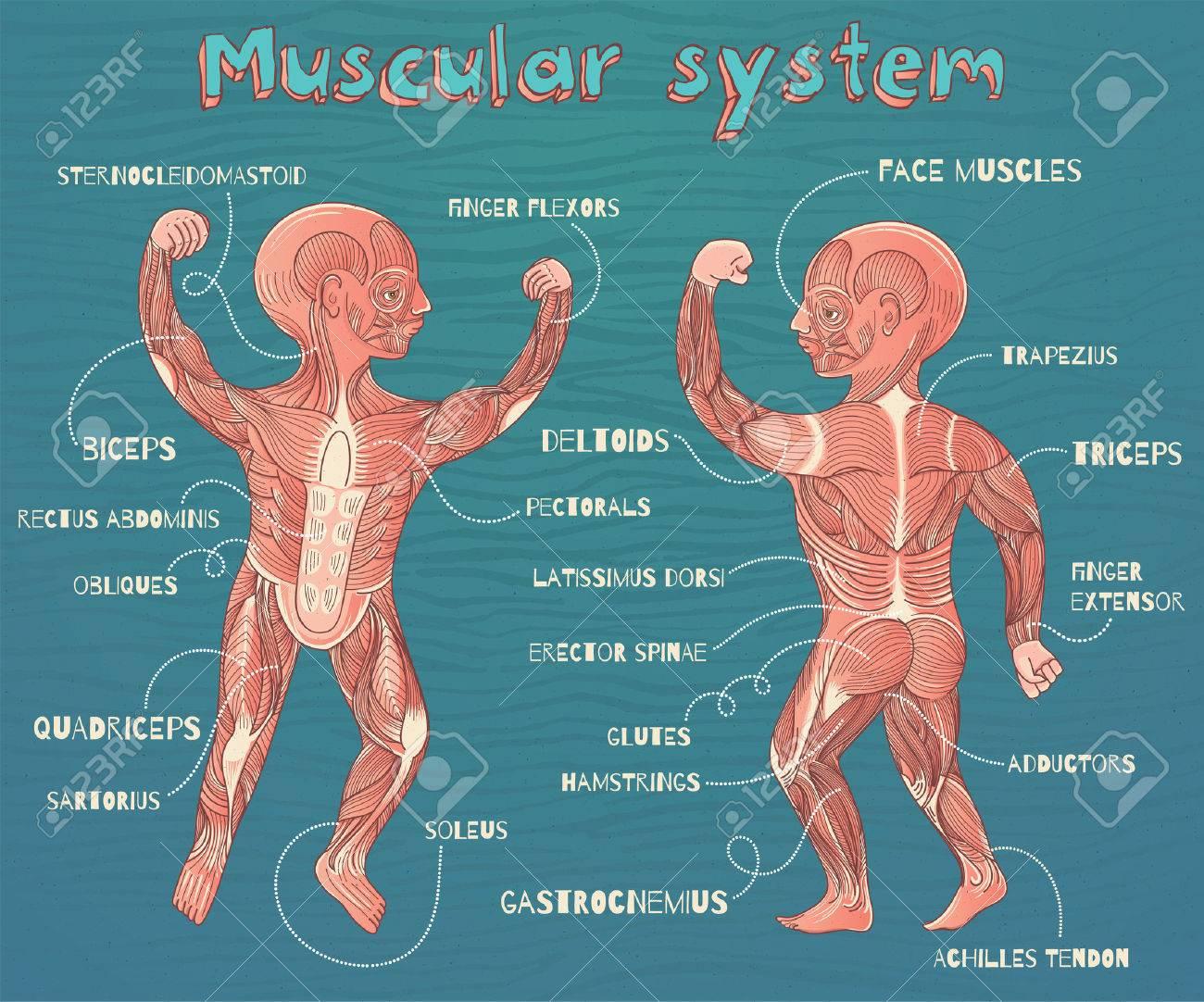 Human Muscular System For Kids. Vector Color Cartoon Illustration ...