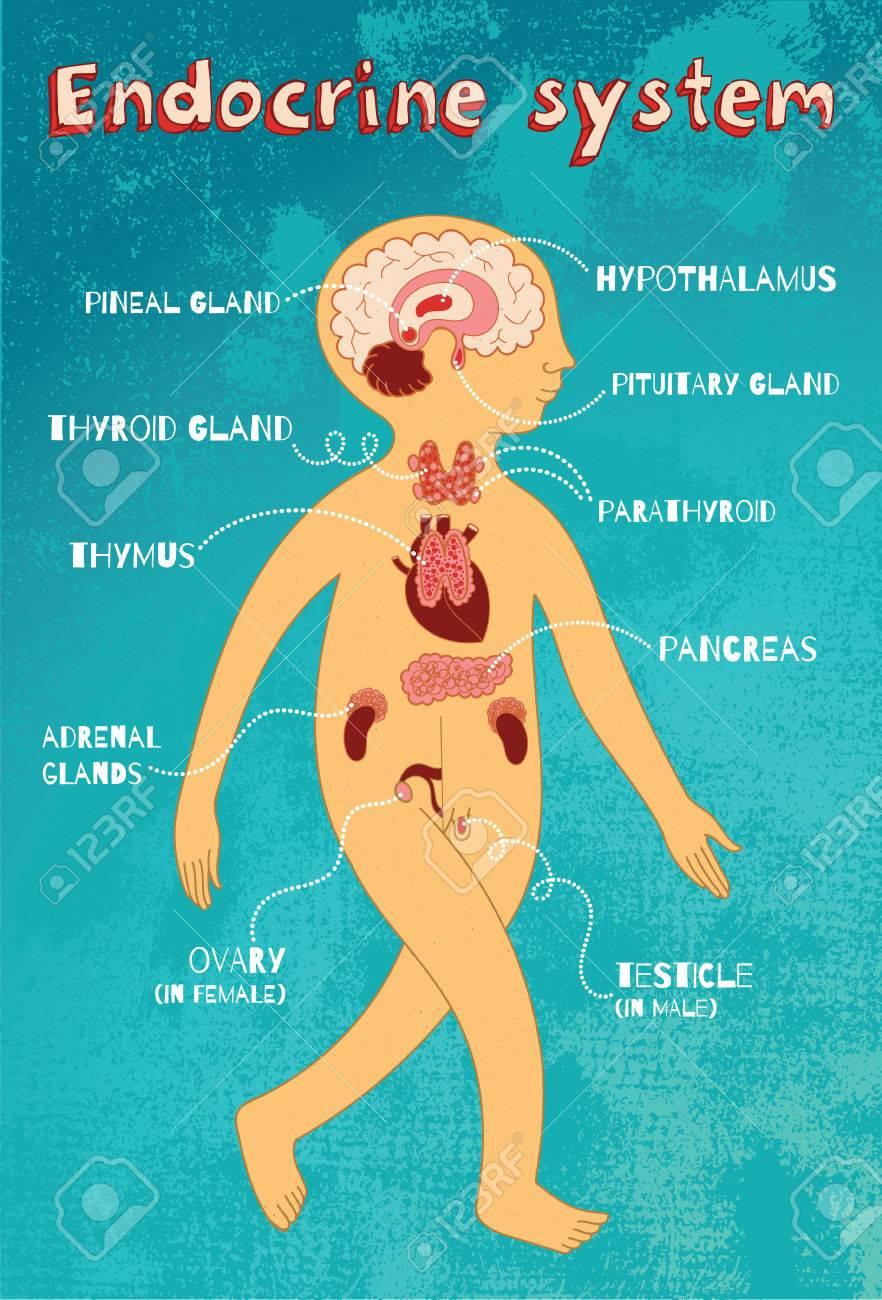 Human Endocrine System For Kids. Vector Color Cartoon Illustration ...