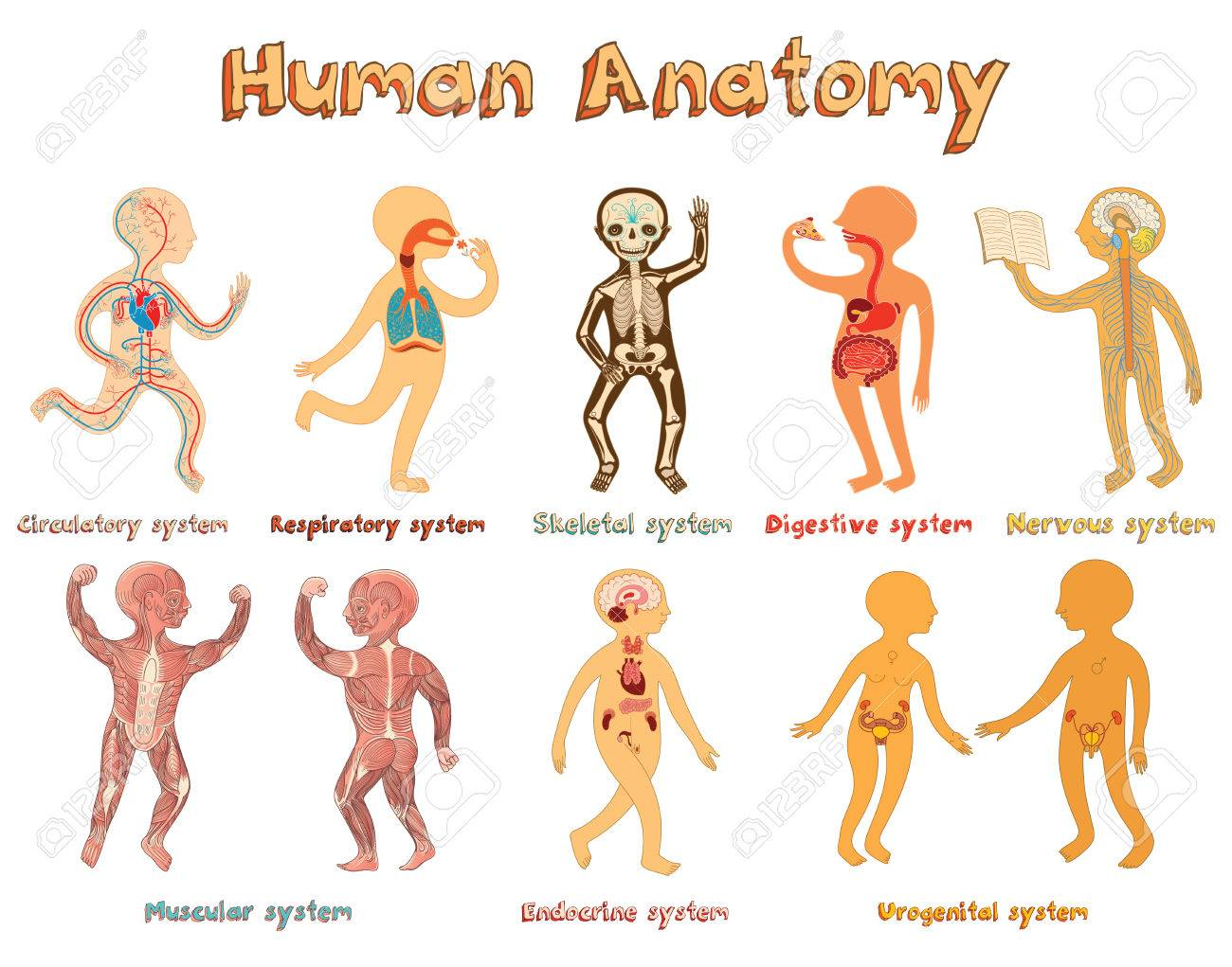 Educational Illustration Of Human Anatomy Systems Of Organs For