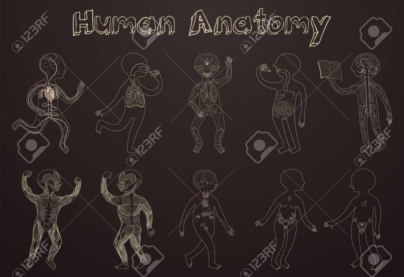 Educational Darstellung Der Menschlichen Anatomie, Organsysteme Für ...