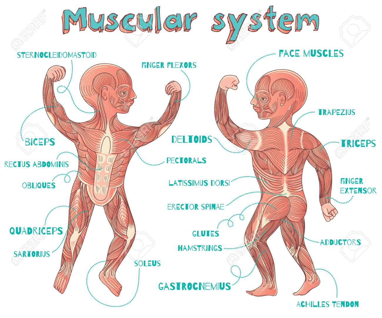 Human Muscular System For Kids. Vector Color Cartoon Illustration ...
