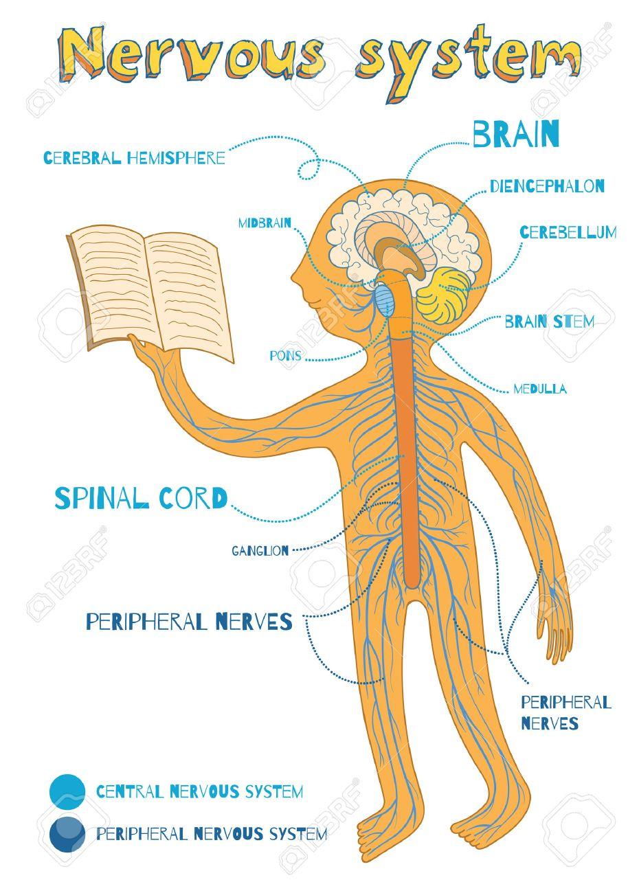 Menschliche Nervensystem Für Kinder. Vector Farbe Cartoon ...