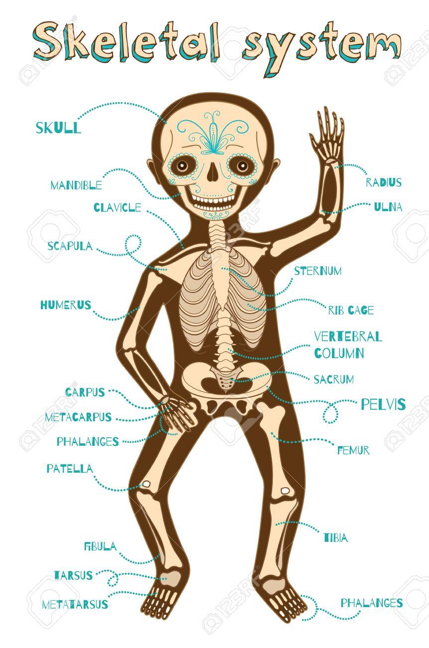 Menschliches Skelett-System Für Kinder. Vector Farbe Cartoon ...