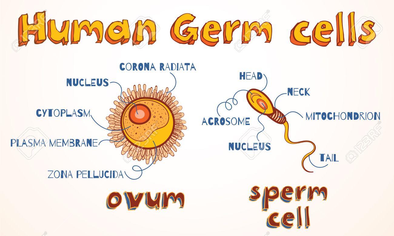 Estructura De Los Gametos Humanos Célula Del óvulo Y El Espermatozoide Ilustración Del Vector Para La Educación