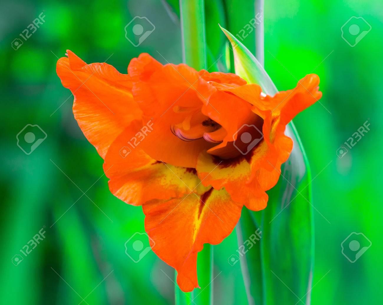 Orange gladiolus flower in the garden ornamental flowers flora orange gladiolus flower in the garden ornamental flowers flora close up outdoors mightylinksfo