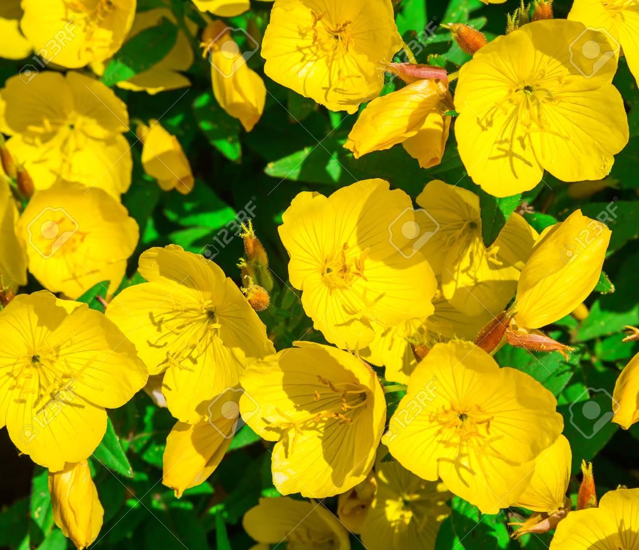 Flores Amarillas Del Primer Caustico Del Ranunculo Flores