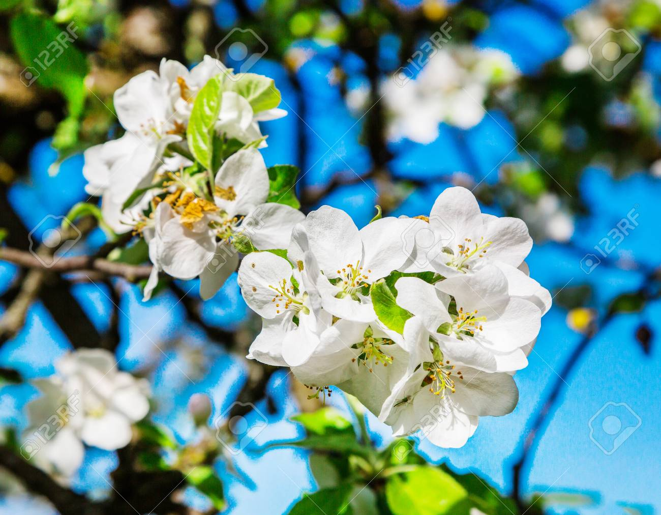 Spring season creative image of the flowers of an apple tree spring season creative image of the flowers of an apple tree close up with mightylinksfo