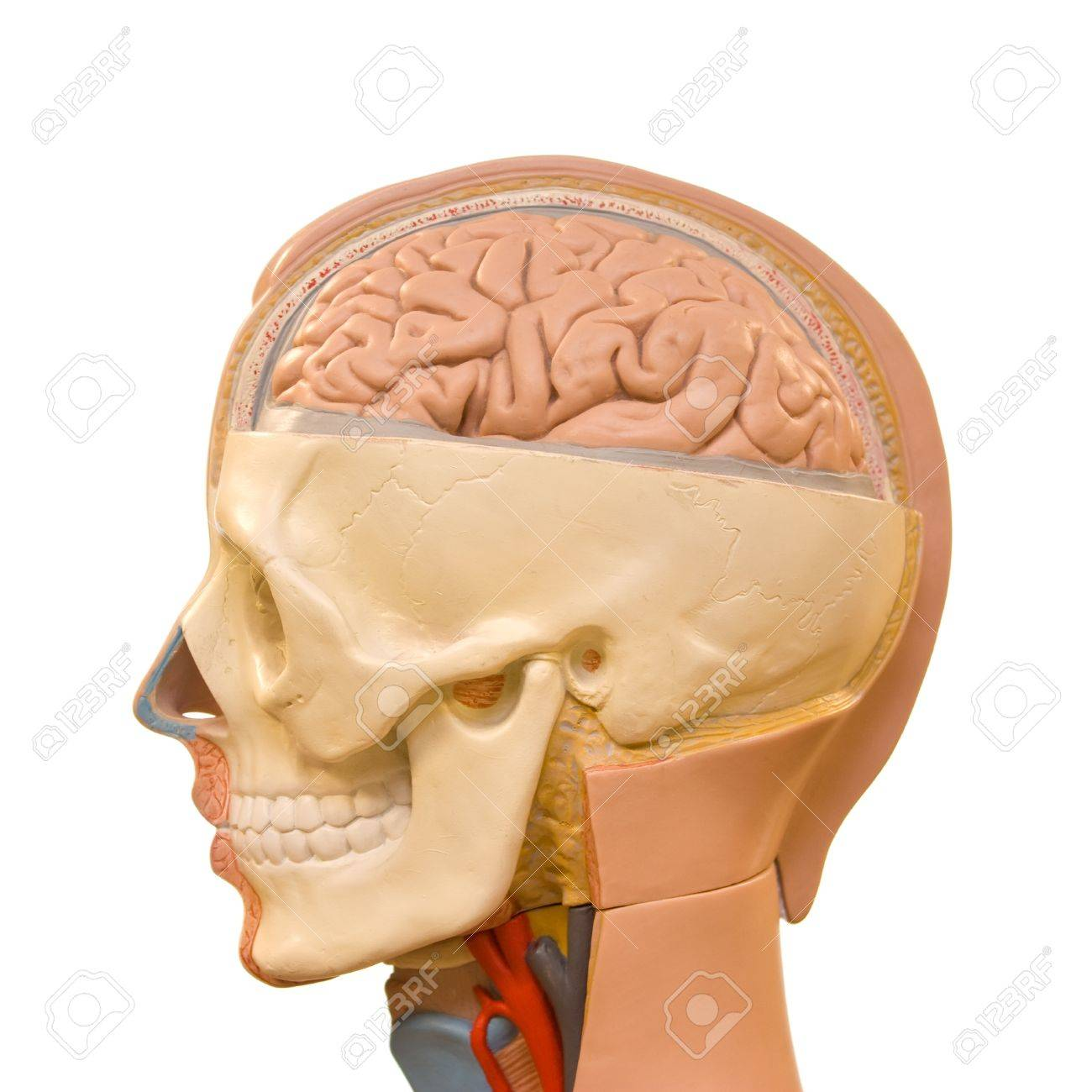 Human Brain Anatomy Stock Photo Picture And Royalty Free Image