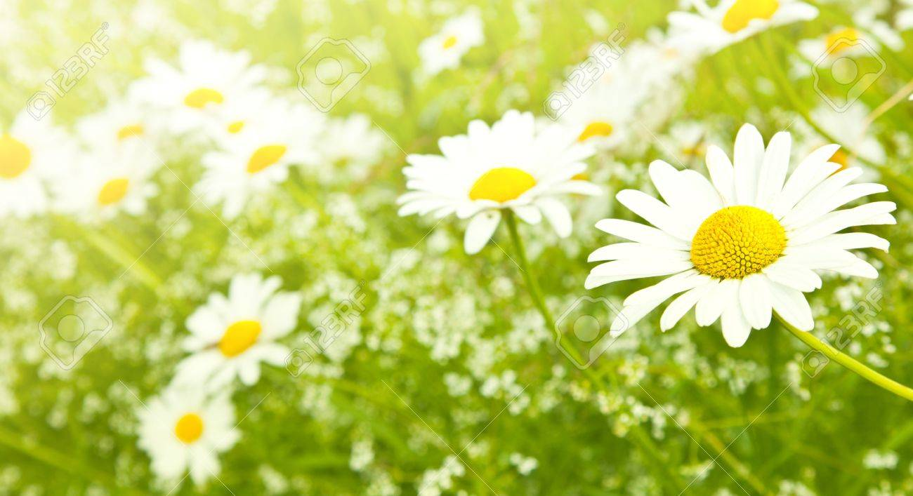White daisy flowers Stock Photo - 10428516
