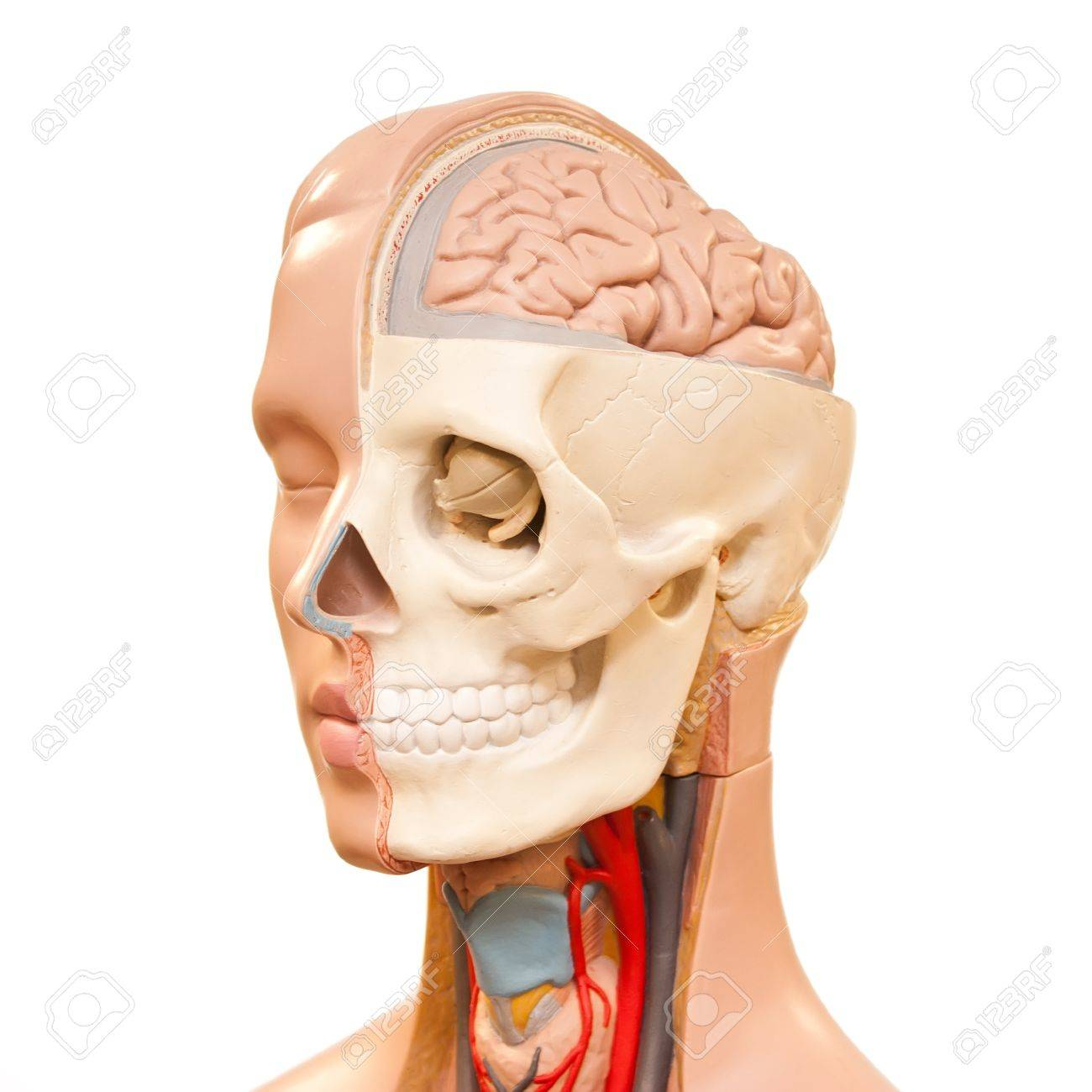 Human Head Anatomy Picture Stock Photo Picture And Royalty Free
