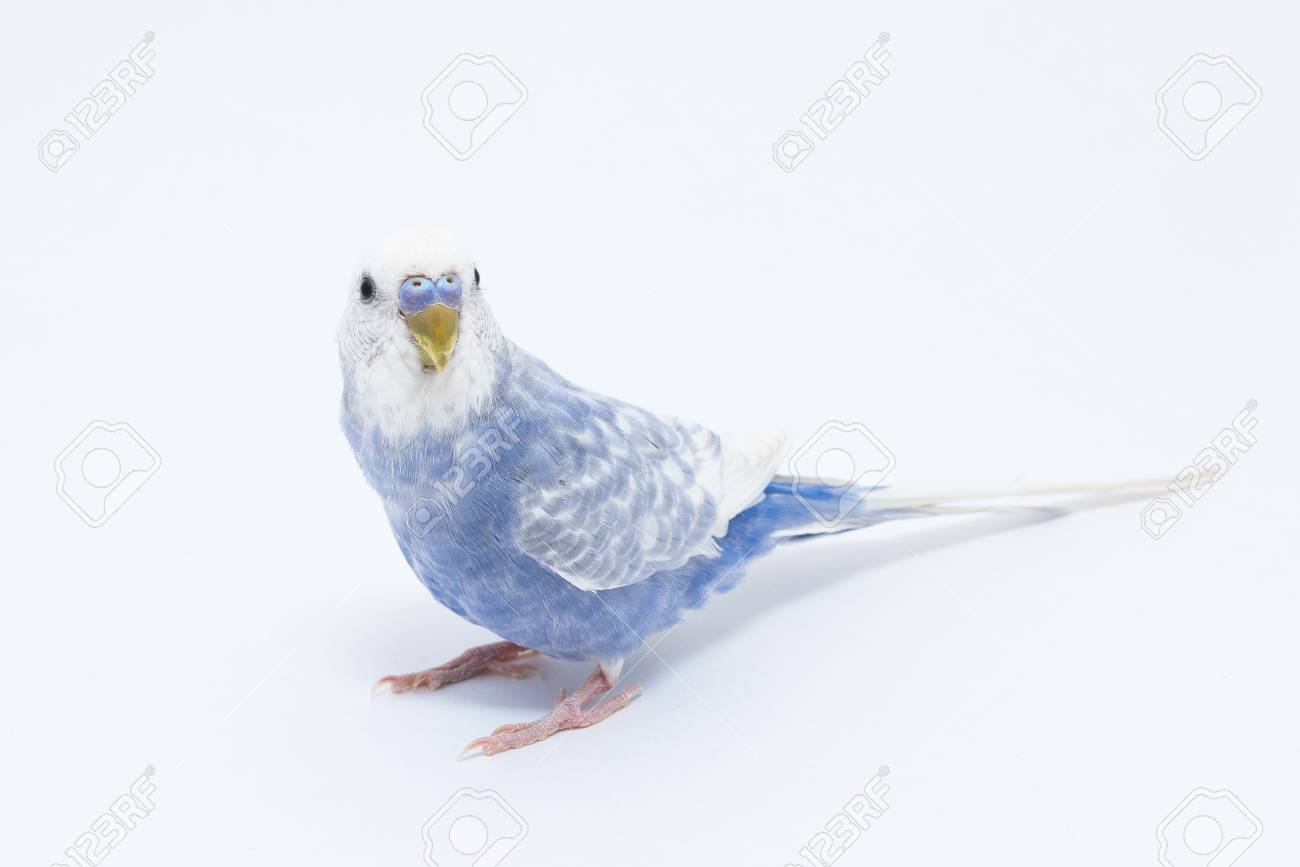What is interesting wavy parrots, how to determine the age and gender 63
