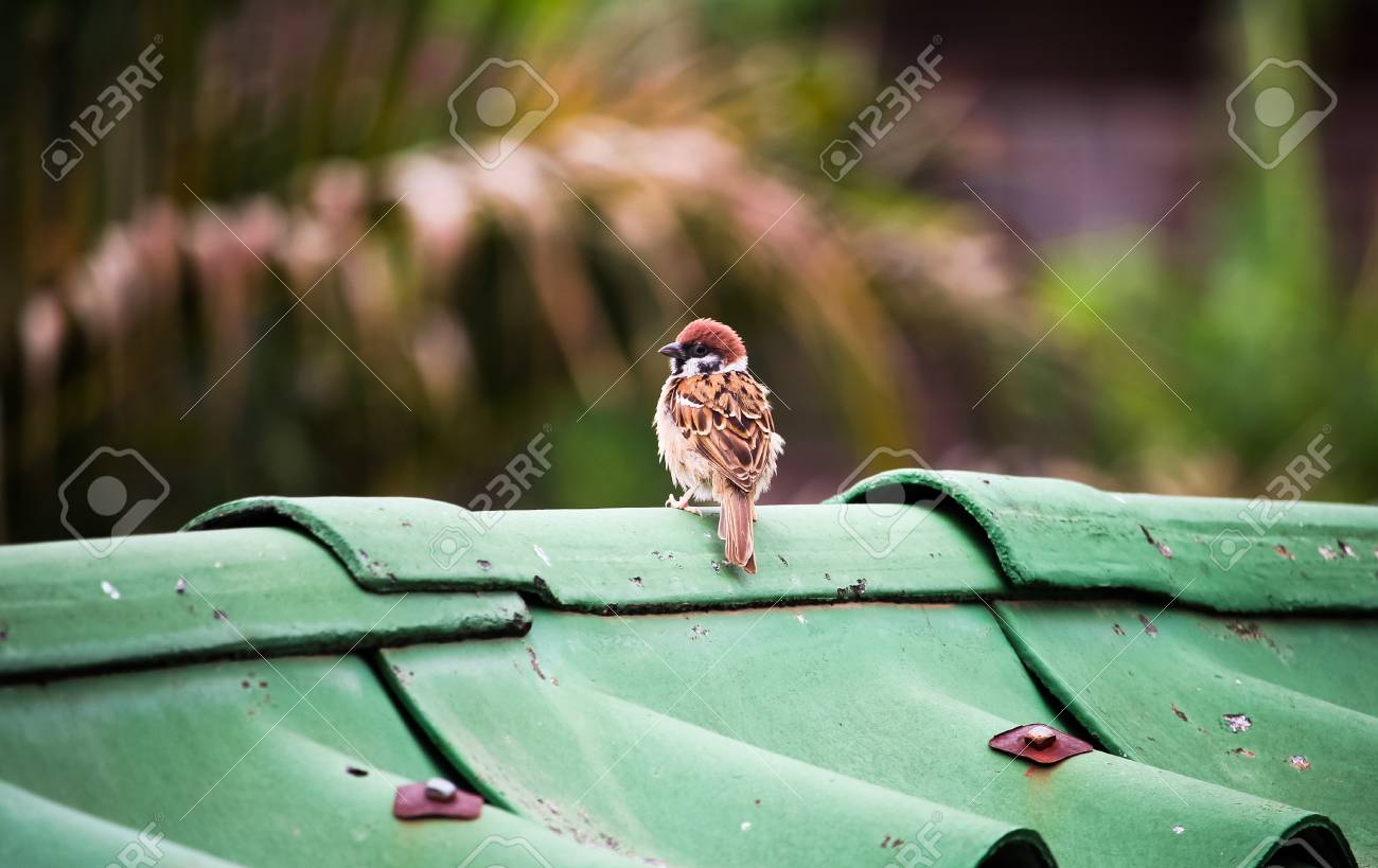 the house sparrow Stock Photo - 73554731