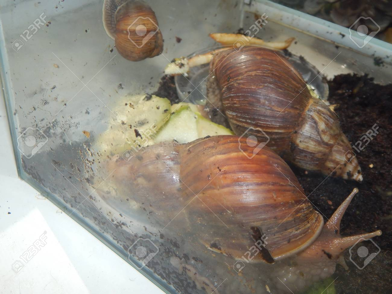 The Breeding Of Large Snails In The Terrarium Of The House Stock Photo Picture And Royalty Free Image Image 103755285