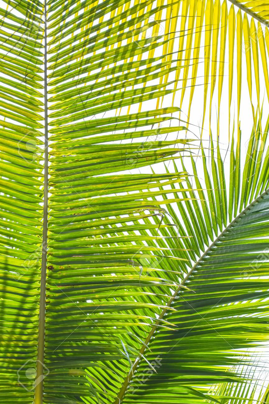 Palm Sunday background for religious holiday backdrop with green tropical tree leaves against natural summer sky - 116056458