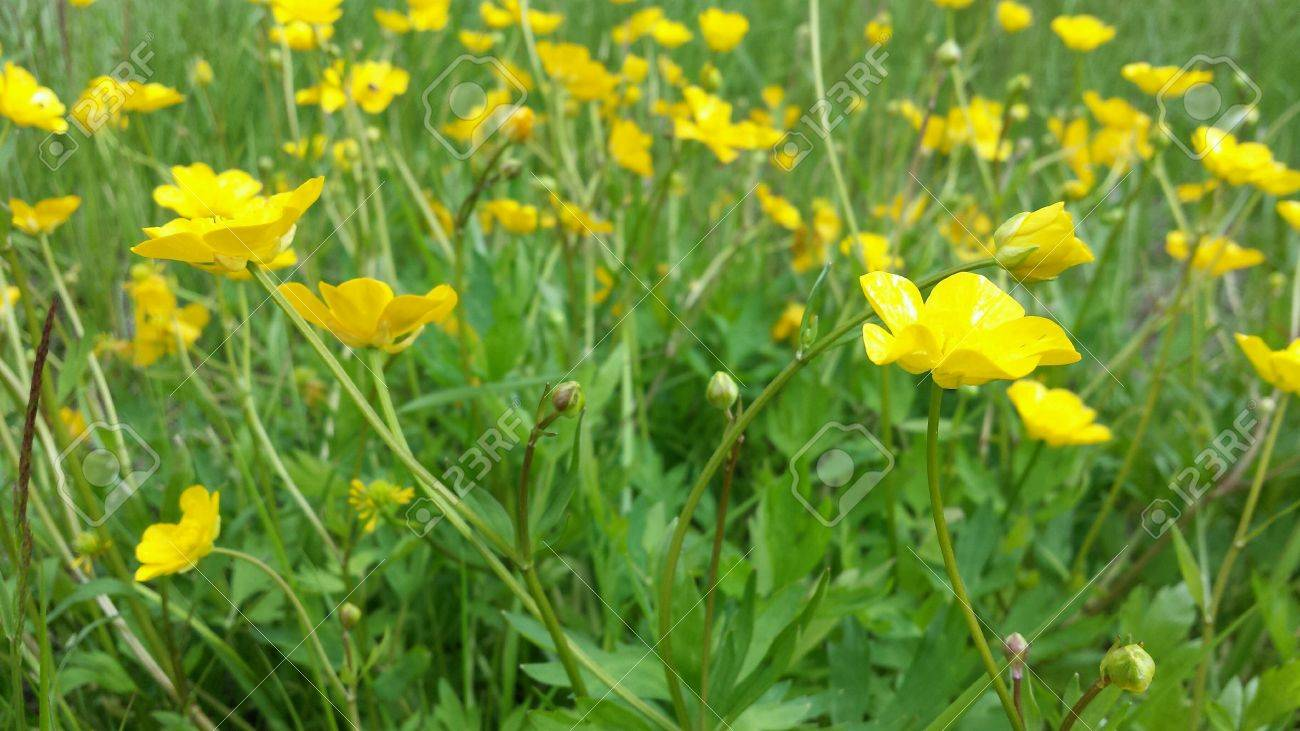 Yellow Pasture Flowers Images Flower Decoration Ideas