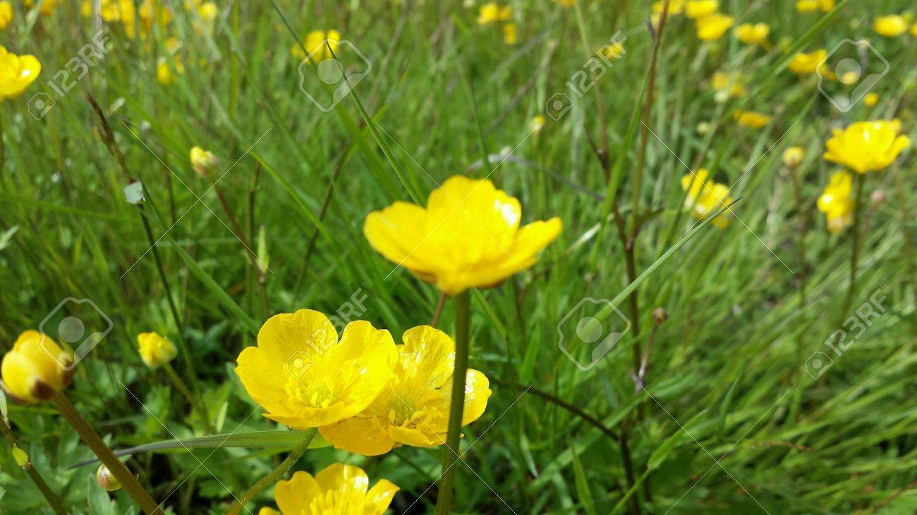 Beautiful Yellow Buttercup Flowers On Green Grassy Summer Pasture