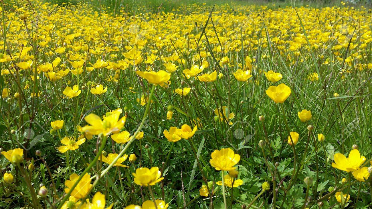 Beautiful Vibrant Yellow Buttercup Flowers On Green Grassy Summer