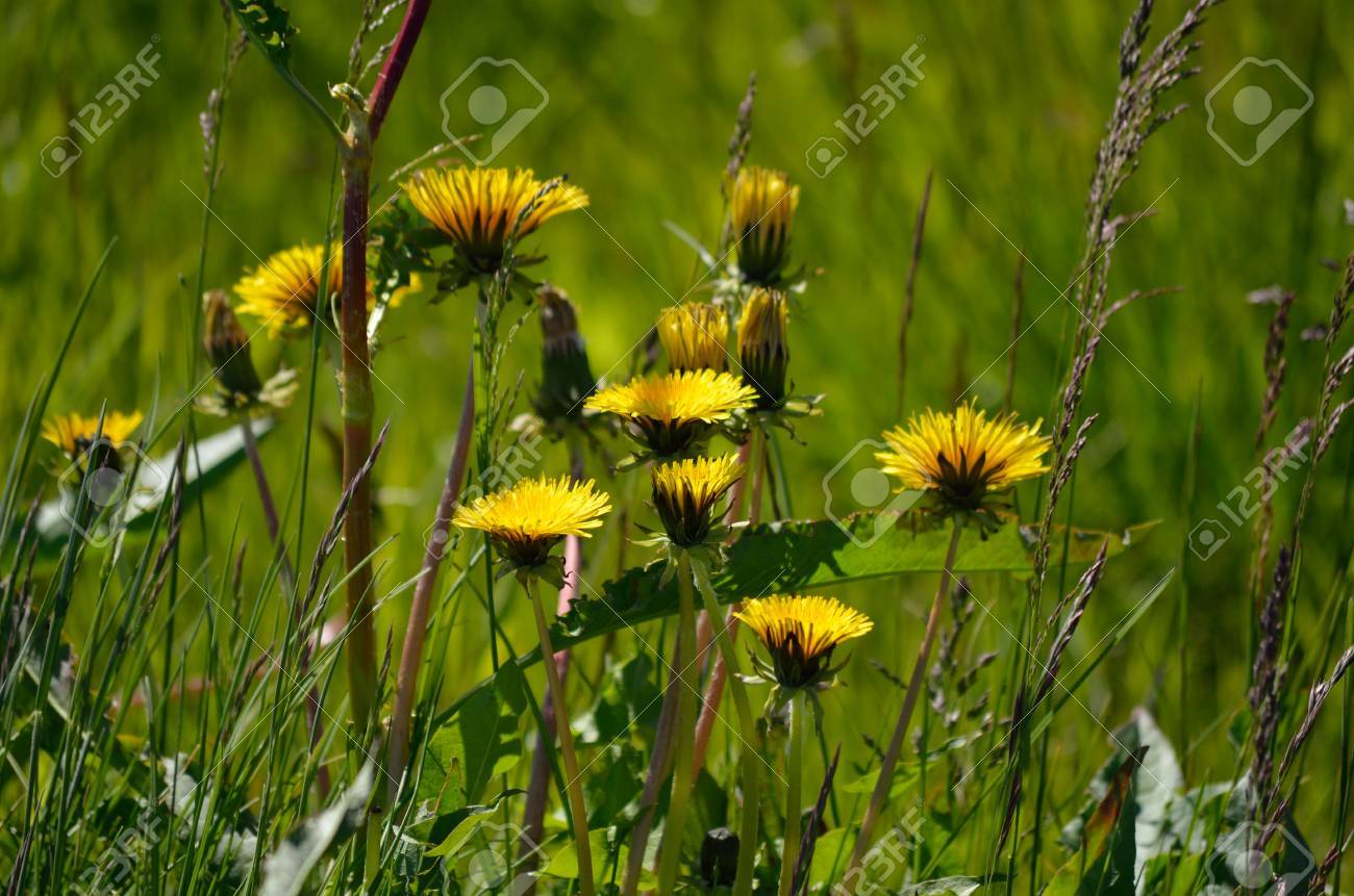 Beautiful Yellow Coltsfoot Flowers In Summer Pasture Stock Photo