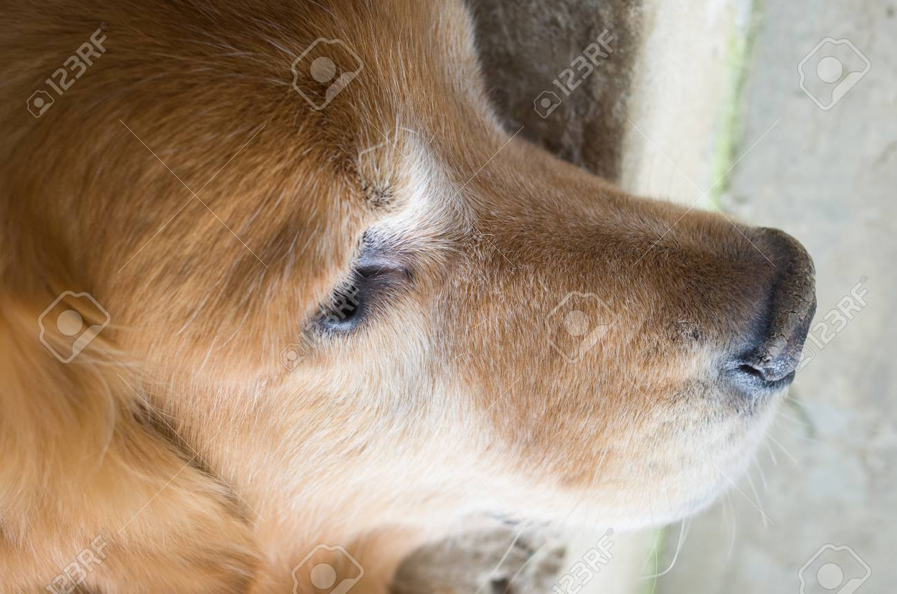 Cute Nose Of Golden Retriever Puppy Dog Stock Photo Picture And