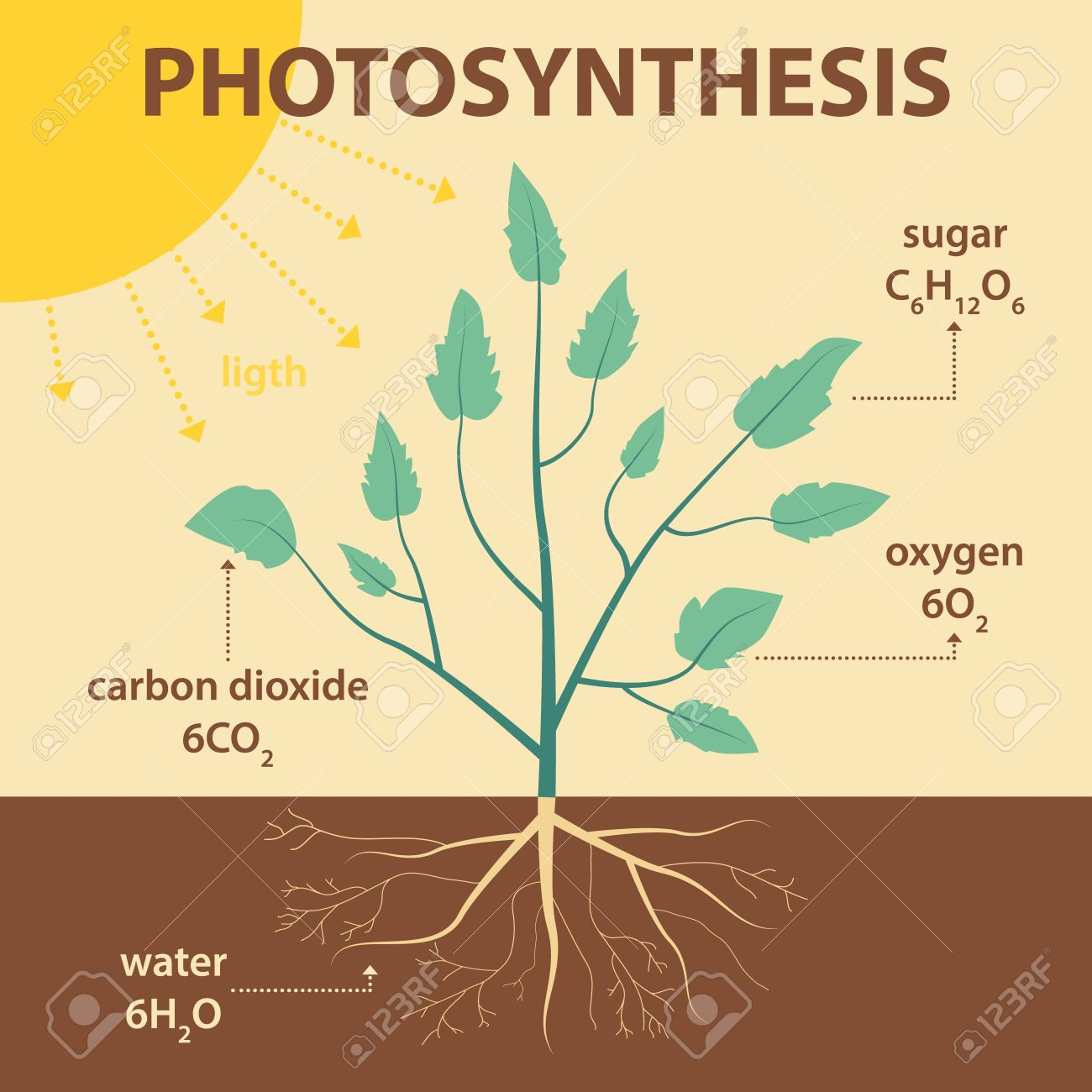 Vector Schematic Illustration Showing Photosynthesis Of Plant ... on
