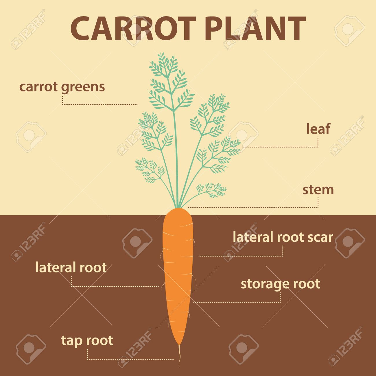 Vector diagram showing parts of carrot whole plant agricultural vector diagram showing parts of carrot whole plant agricultural infographic scheme with labels for education pooptronica