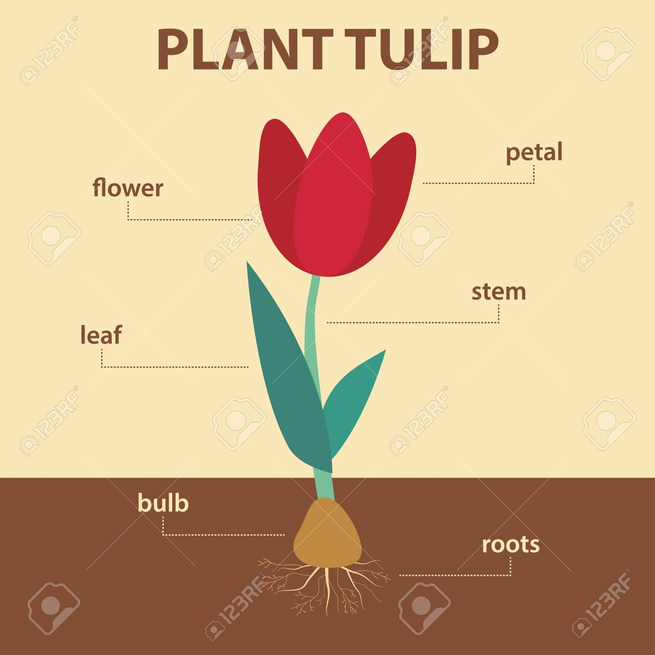 Diagram Showing Parts Of Tulip Whole Plant, Agricultural ...