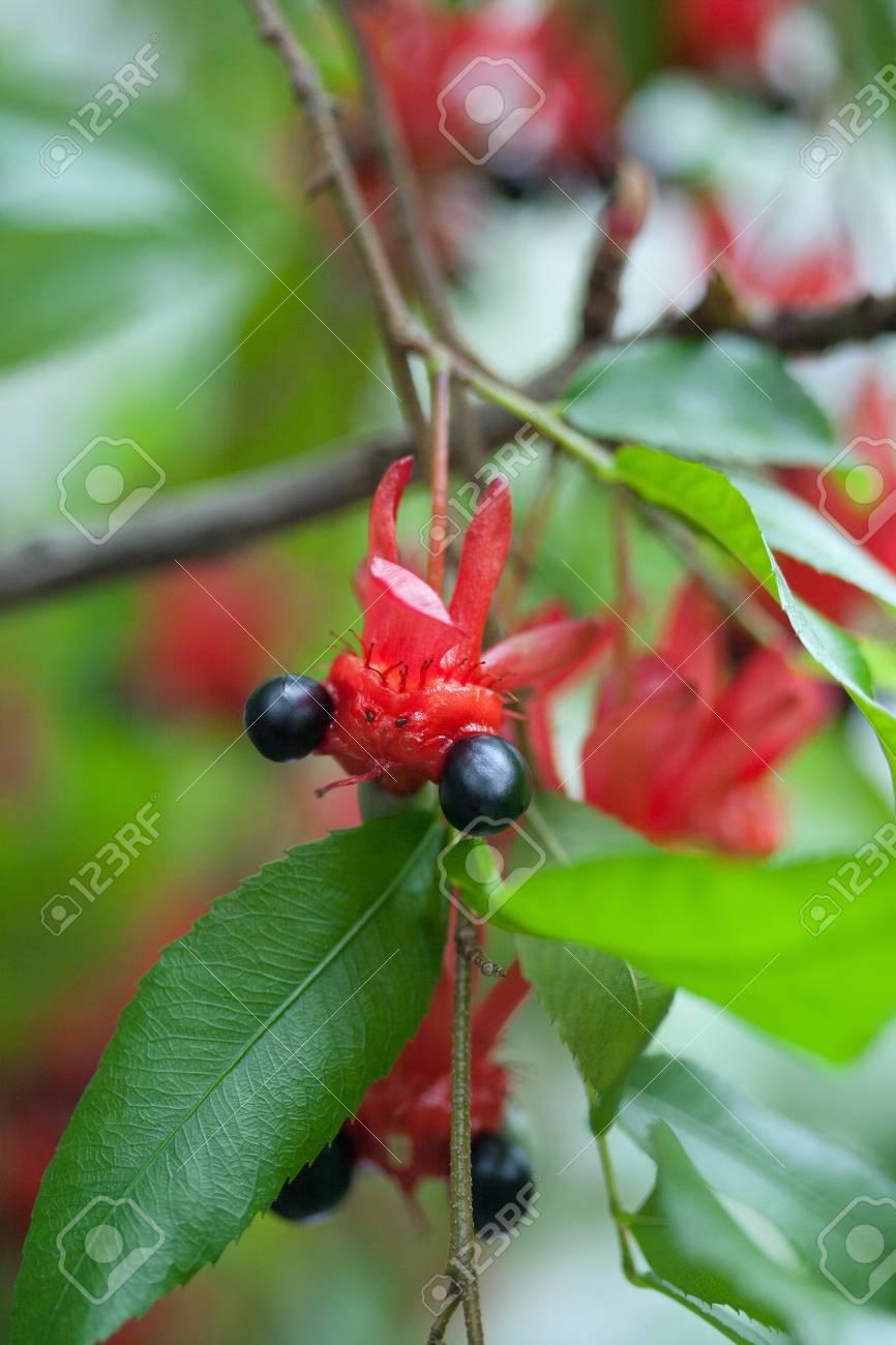 meet 609da e4c5e Flower and fruit of the mickey mouse tree, ochnaceae