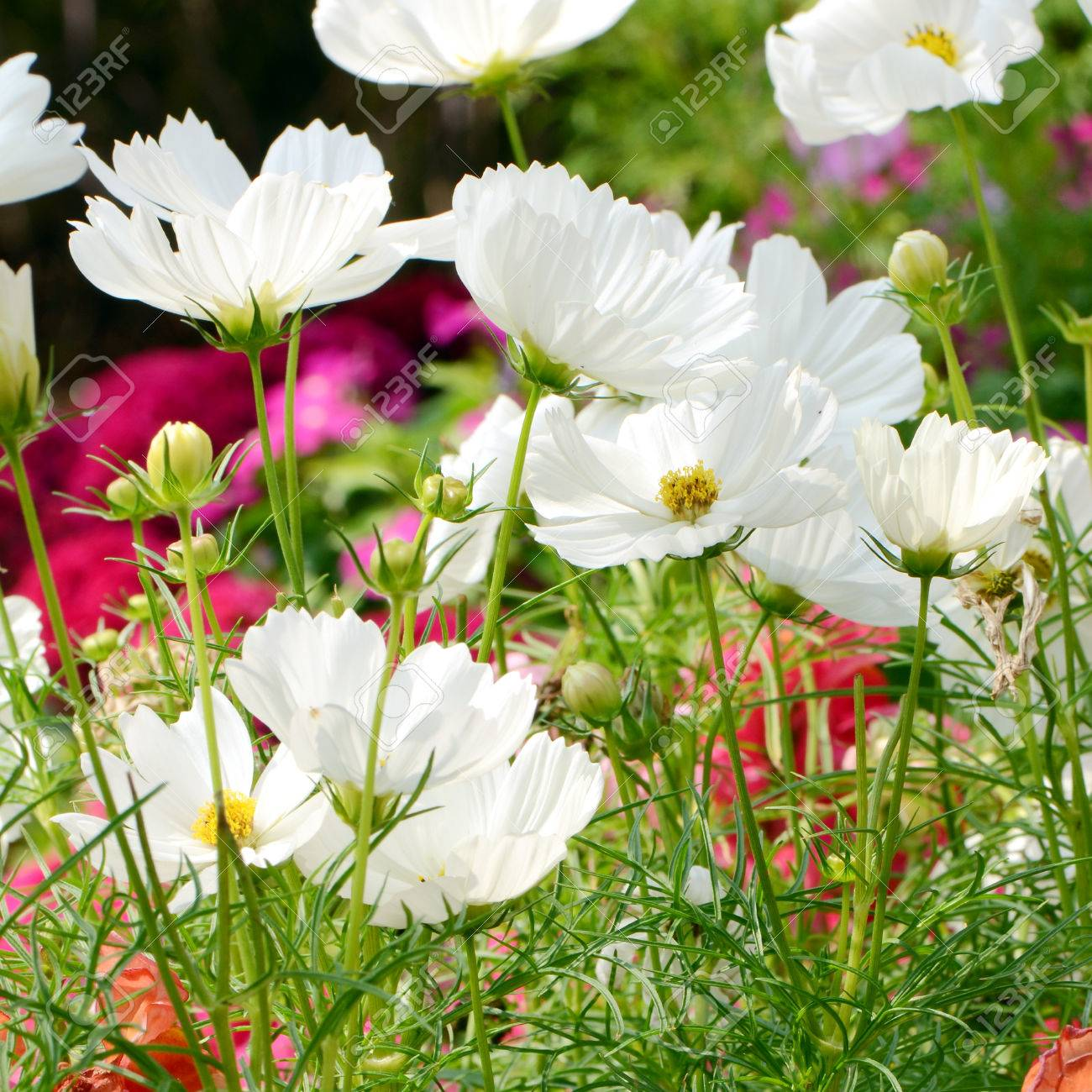 White Cosmos Flowers Field Cosmos Sulphureus Stock Photo Picture