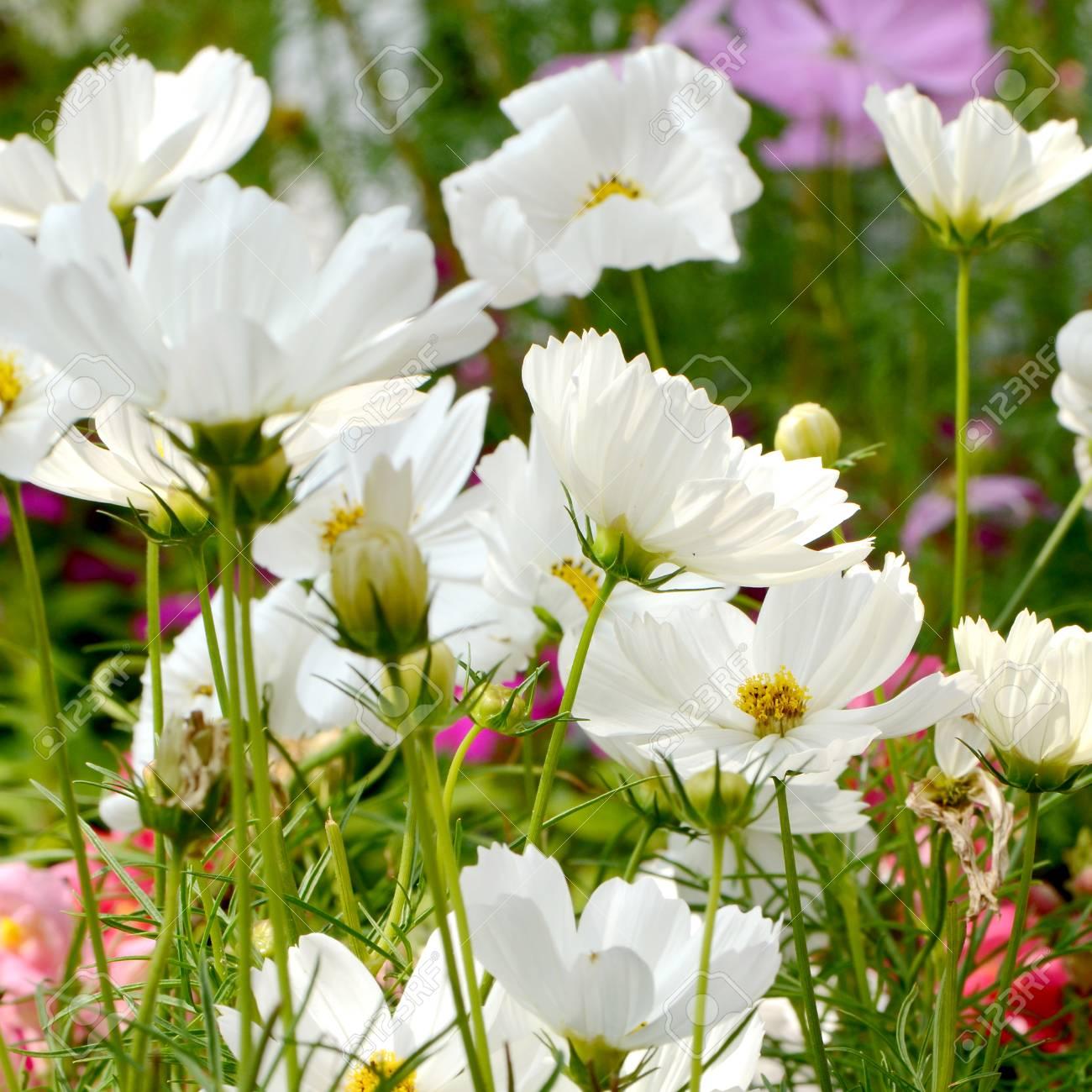 White Cosmos Flowers Field Cosmos Sulphureus Stock Photo Picture