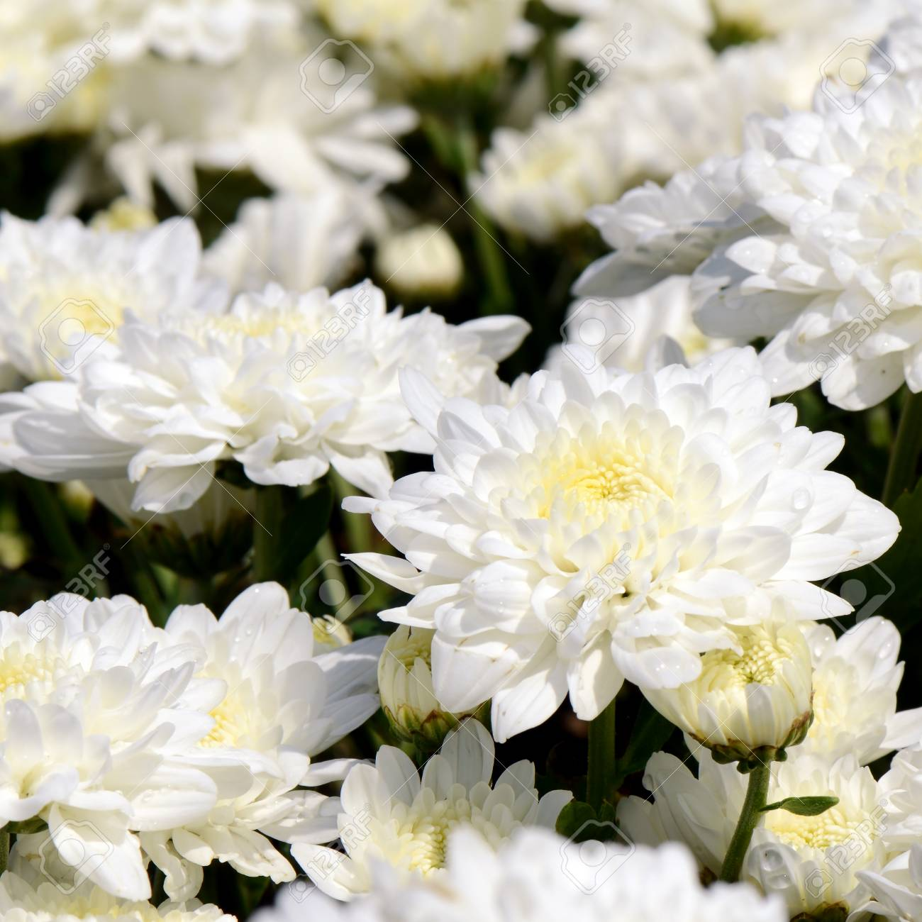 Spray Type Of White Chrysanthemum Dendranthemum Grandifflora