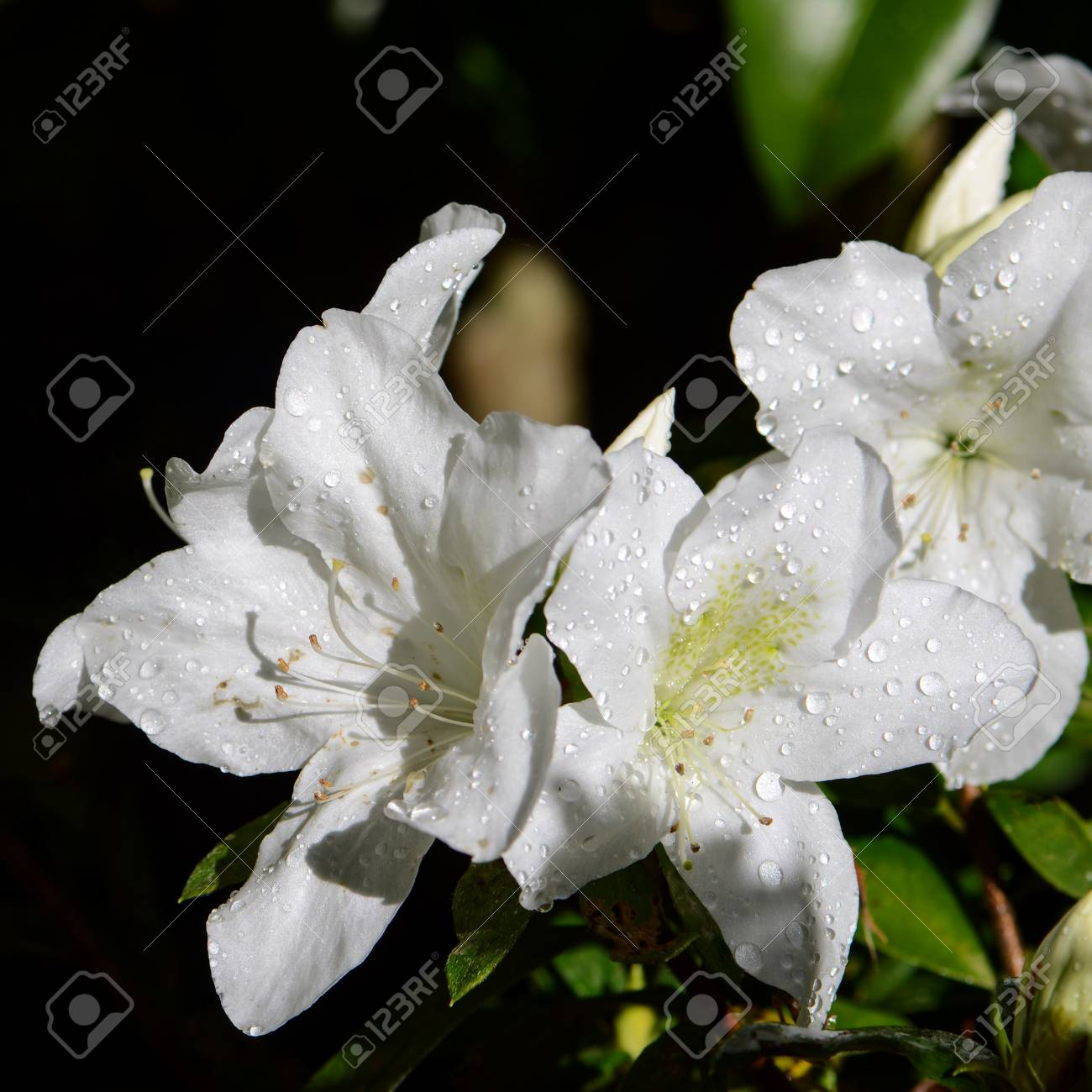 White Rhododendron In Northern Of Thailand Blossom In October Stock