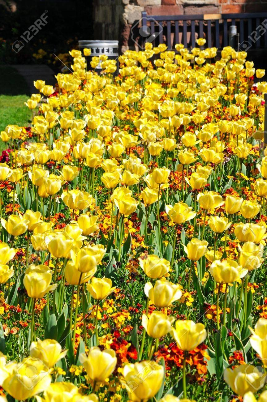 Pretty Yellow Tulips And Spring Flowers Shrewsbury Shropshire