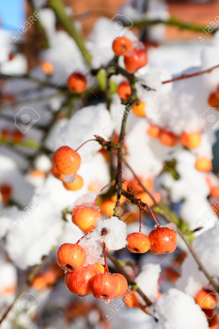 Snow Laden Crab Apple Fruit And Branches Stock Photo Picture And