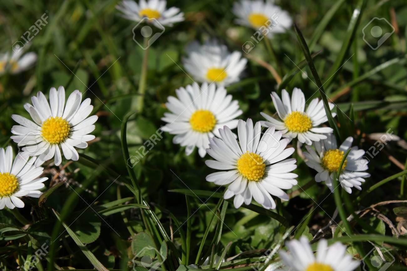 Common daisy or english daisy bellis perennis stock photo picture common daisy or english daisy bellis perennis stock photo 70439681 izmirmasajfo