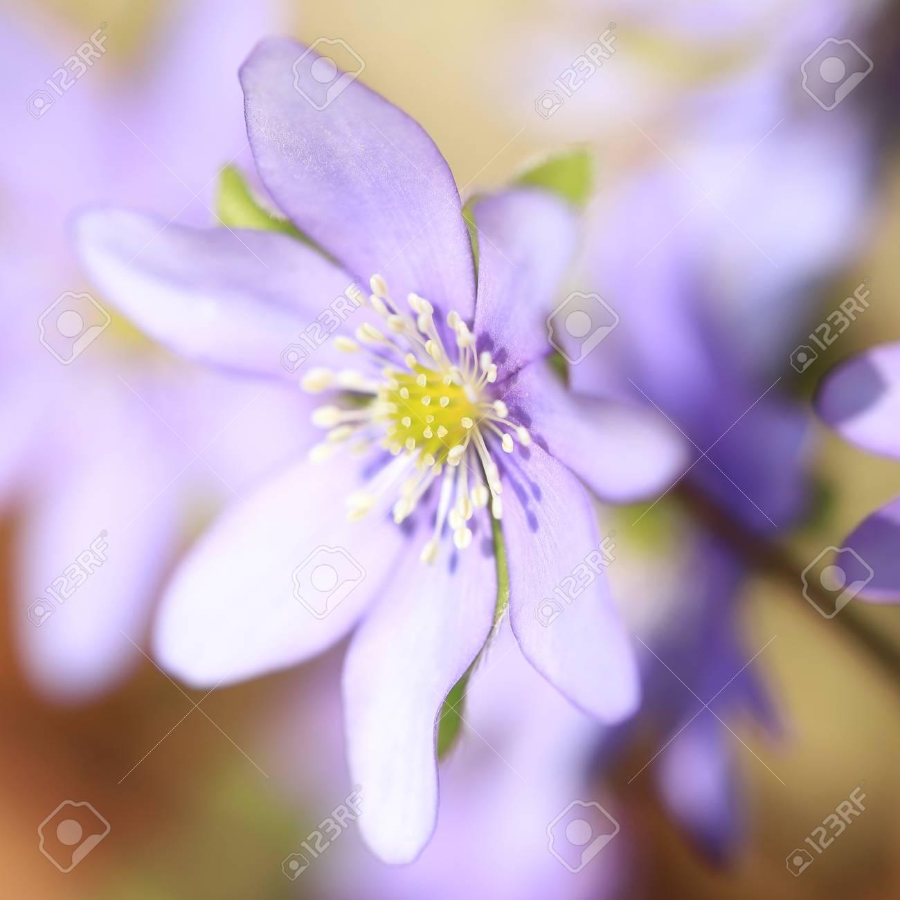 stamen and pistil of flower of liverleaf in spring, Hepatica nobilis specie - 121965666