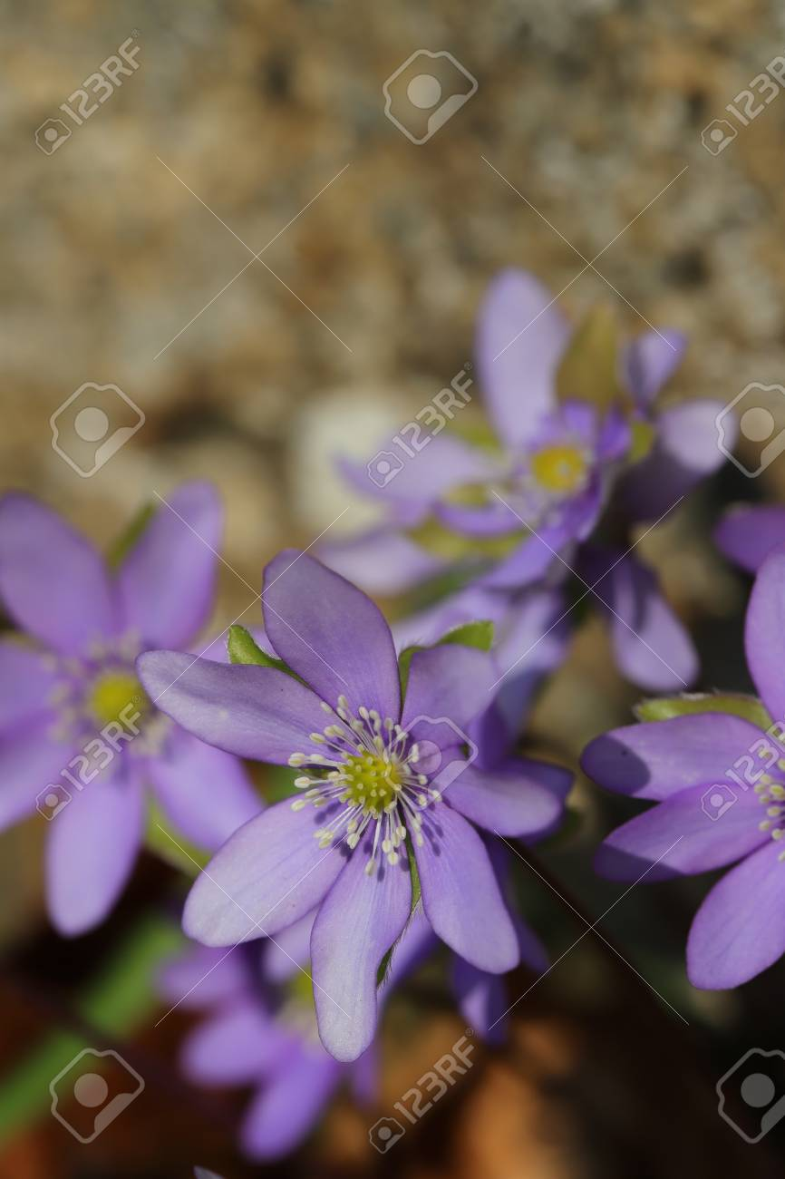 flower of liverleaf in spring, Hepatica nobilis specie - 121965684
