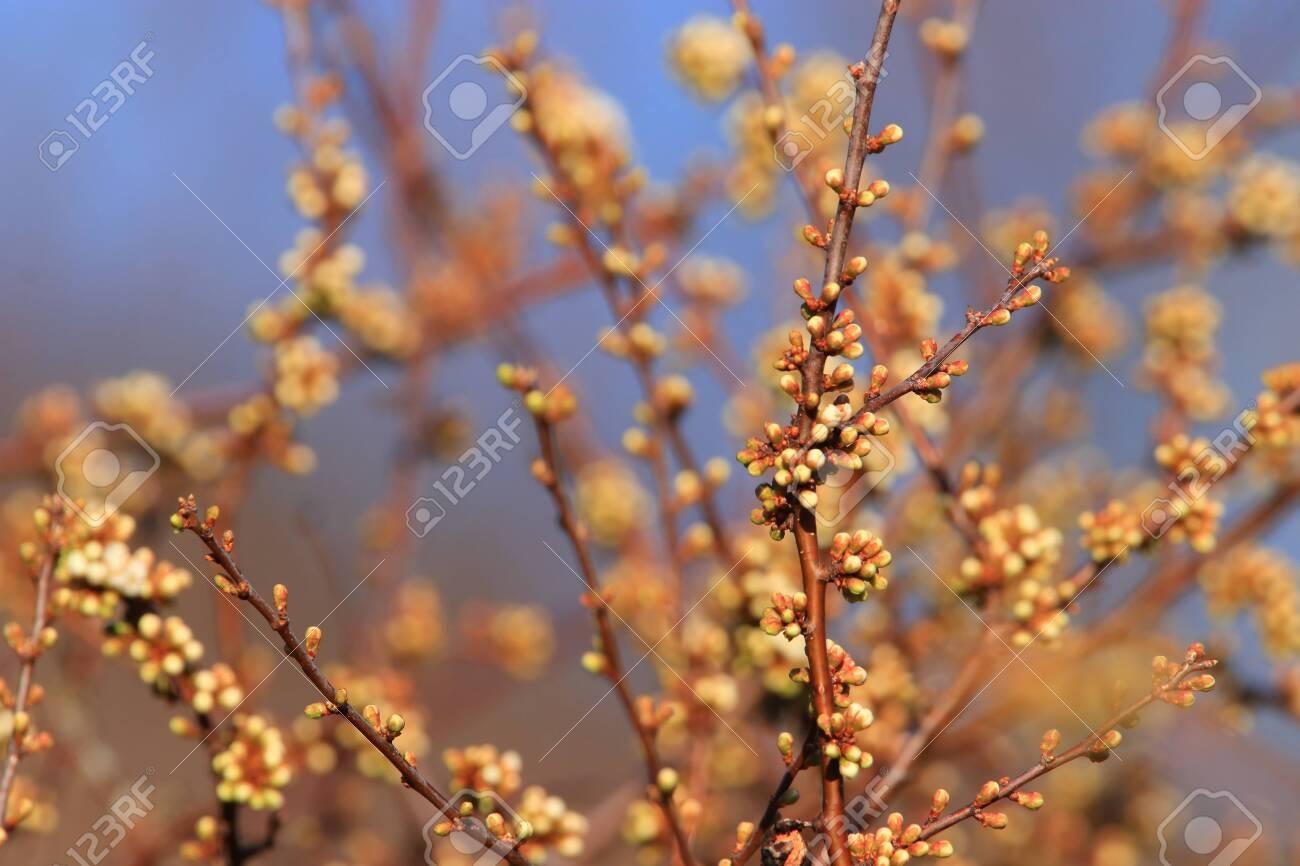 background of spring Buds of blackthorn or sloe, Prunus spinosa specie - 121965687